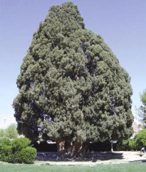 la symbolique des arbres chez les iraniens la revue de t h ran iran. Black Bedroom Furniture Sets. Home Design Ideas