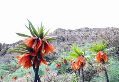 tulipe iran