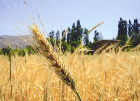 Les producteurs de blé et de maïs fauchés par la crise